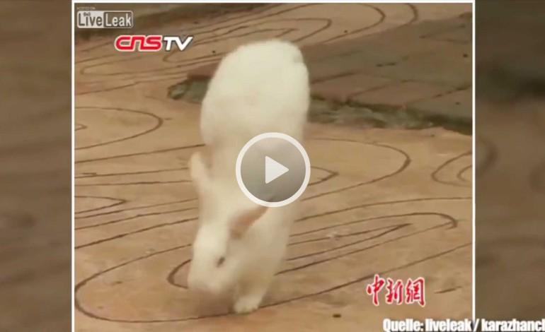 Unglaublich: Dieses Kaninchen läuft im Handstand