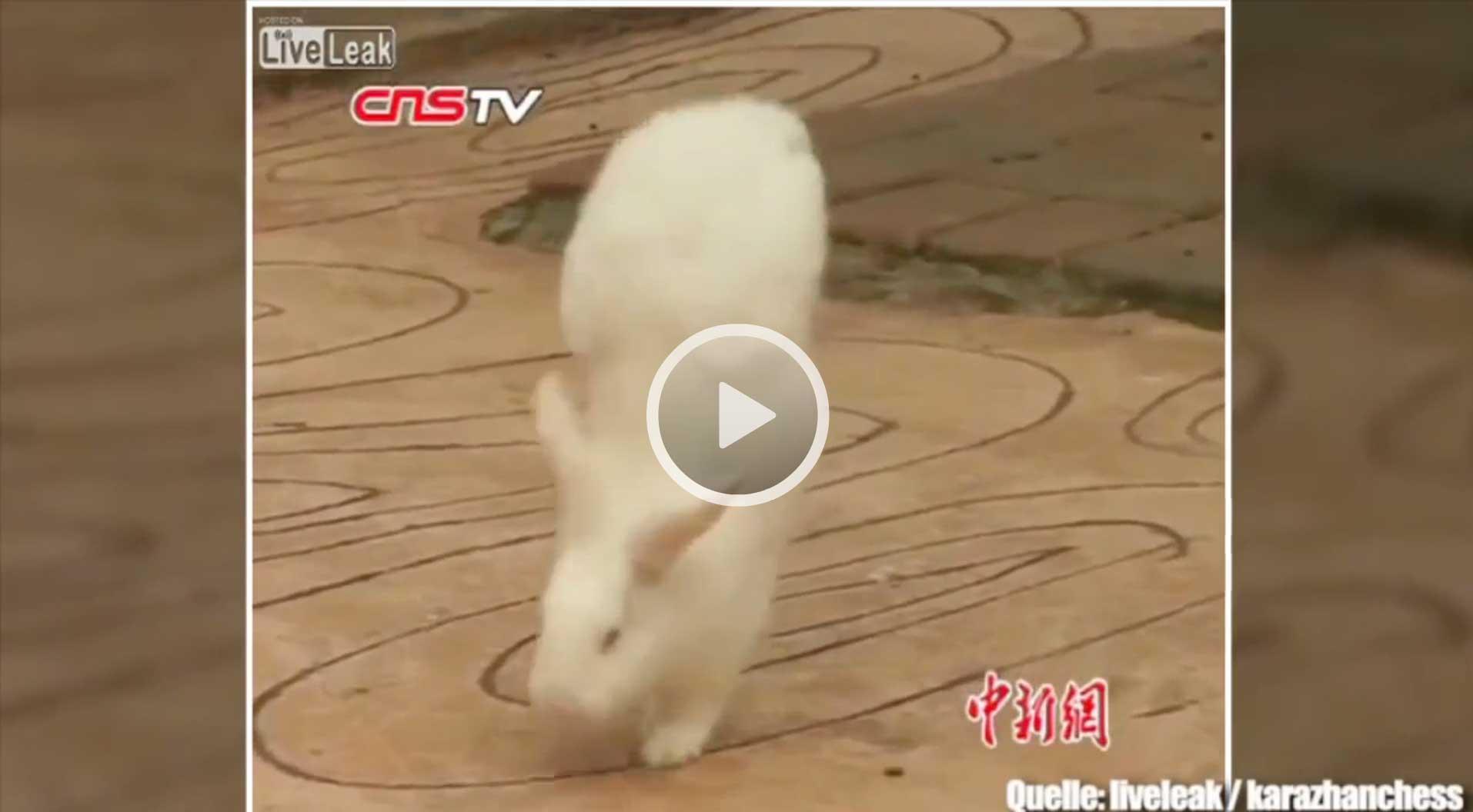 Dieses Kaninchen läuft im Handstand - Bildquelle: Video Stern (siehe oben) / Liveleak